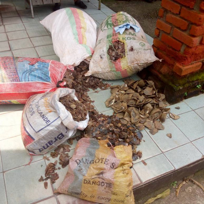 cameroun-cameroon-three-arrested-trafficking-in-pangolin-scales